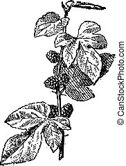 Mulberry or Morus sp., vintage engraving - Mulberry or Morus...