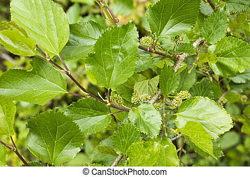Mulberry tree - Mulberry flowers and green leaves in late...