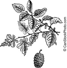 Mulberry, vintage engraving.