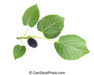 mulberry with a leaf. Isolated on a white background.