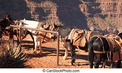 Mule at resting point on Grand Canyon - Mules resting point...