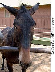 Mule - Close up of head of mule
