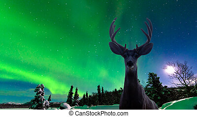 Mule deer and Aurora borealis over taiga forest - Curious...