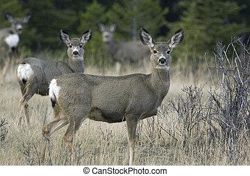 Mule deer - Attentive mule deer