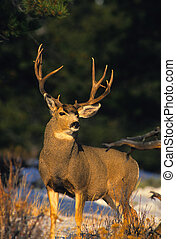 a big mule deer buck in forest clearing