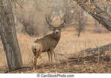 Mule Deer Buck - a big mule deer buck in the trees