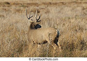 Mule Deer Buck - a big mule deer buck looking back