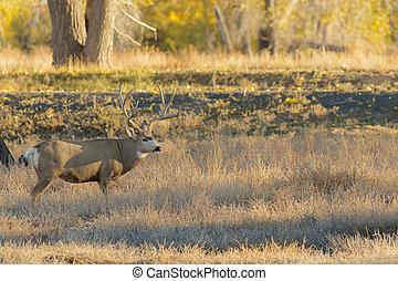 Mule Deer Buck - a big mule deer buck