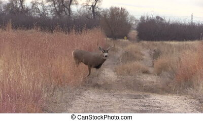 Mule Deer Buck - a mule deer buck crossing a dirt road
