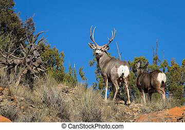 Mule Deer Buck - A mule deer buck looks back from the top of...