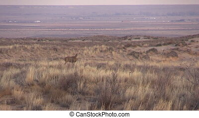 Mule Deer Buck - a mule deer buck on the high plains of...