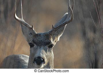 Mule Deer Buck - A mule deer buck stares back intently at ...