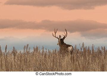 Mule Deer Buck - a nice mule deer buck at sunrise