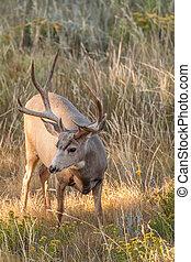 Mule Deer Buck - a nice mule deer buck head on