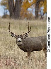 Mule Deer Buck - a nice mule deer buck in eastern colorado