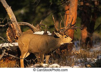 Mule Deer Buck - a nice mule deer buck in the pines