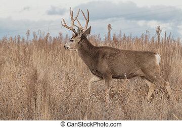Mule Deer Buck - a nice mule deer buck on the prairie