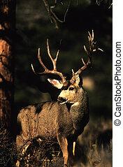 Mule Deer Buck - a nice mule deer buck standing head on