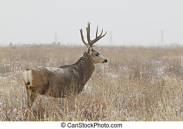 Mule Deer Buck - a nice mule deer buck standing in a field ...