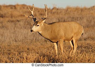 Mule Deer Buck - a nice mule deer buck