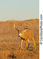 Mule Deer Buck - a nice mule deer buck walking towards the ...