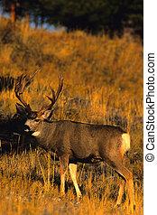 Mule Deer Buck - a nice mule der buck standing in a mountain...