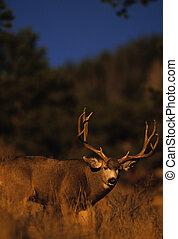 Mule Deer Buck - a trophy mule deer buck