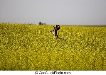 Mule Deer Buck in Canola crop yellow bloom