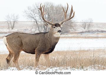 Mule Deer Buck in Snow - a big mule deer buck in a snow ...