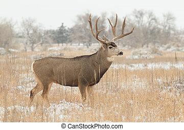 Mule Deer Buck in Snow - a big mule deer buck in rut in snow