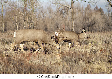Mule Deer Buck Leading His Female Family Winter Grassland -...