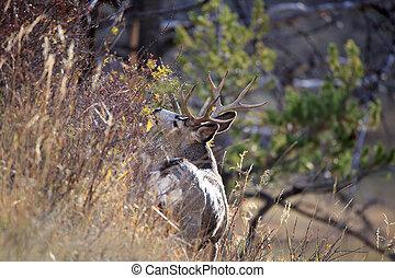 Mule Deer Buck. - Mule deer buck on hillside eating, near ...