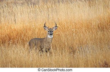 Mule Deer Buck. - Mule deer buck standing in farm field ...
