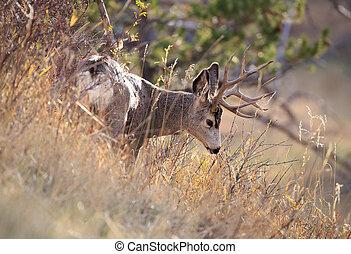 Mule Deer Buck. - Mule deer buck with 4 points in Montana.