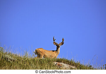 Mule Deer buck on a hill
