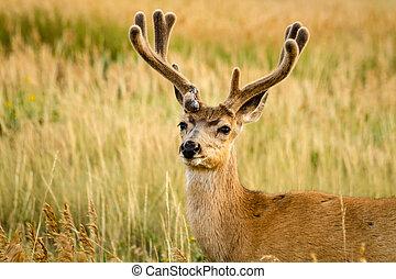 Mule Deer - Close up of young male mule deer with antlers in...