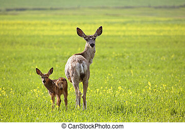 Mule Deer doe and fawn looking back over their shoulders