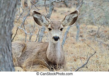Mule Deer Doe With Yearlings - Female mule deer bedded down ...