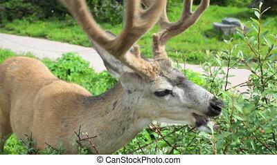Deer - Mule Deer grazing
