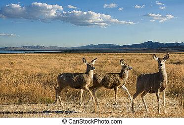 Mule deer in a scenic landscape, three female deer mountains...