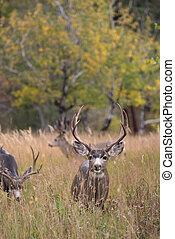 Mule deer in aspen - A large mule deer buck standing in a ...