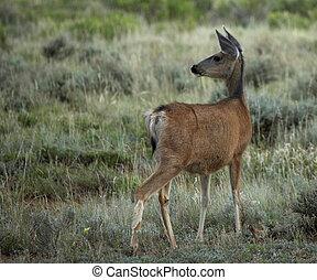 Mule Deer in Field