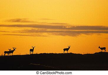 Mule Deer in Sunrise - a group of mule deer bucks in velvet ...