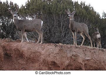 Mule Deer in the Desert