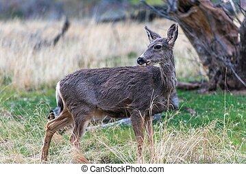 Mule Deer in Utah Zion National Park.