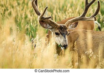 Mule Deer - Large mule deer buck grazing on tall grass