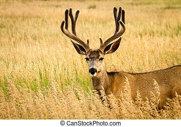 Mule Deer - Large mule deer buck standing in tall grass with...