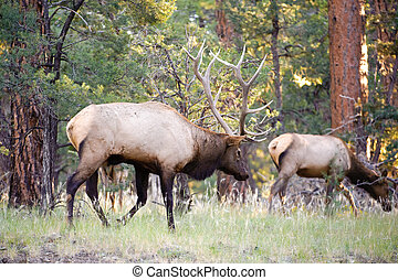 Mule deer (lat. Odocoileus hemionus) in the woods of Grand...