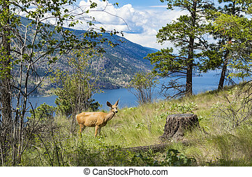Mule Deer - Okanagan Lake - A mule deer doe in a selective ...
