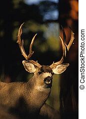 Mule Deer Portrait - portrait of atrophy mule deer buck